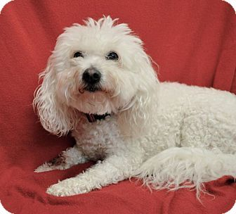 Chico Ca Poodle Miniature Havanese Mix Meet Leo A Dog For