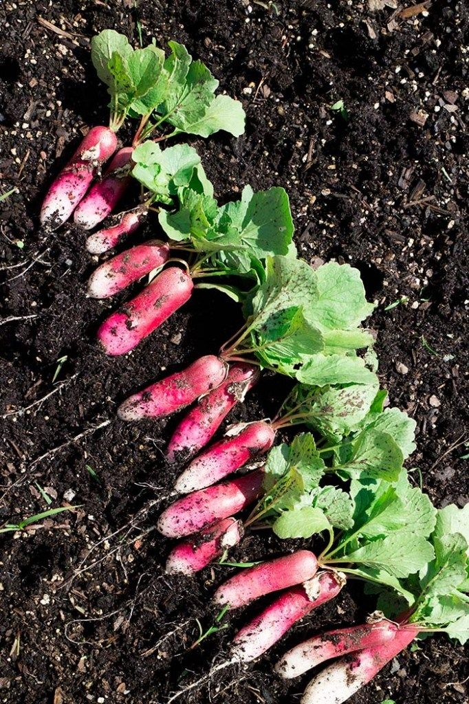How to grow and pick radishes in garden containers.