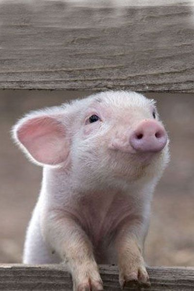 Smiling time @amandabde.....pigs are so cute when they are little......actually, anything little is cute.