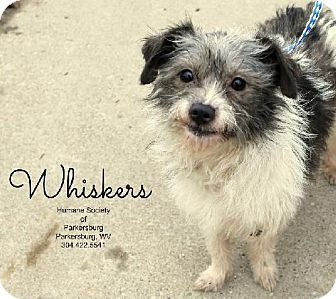 Harrisburg Pa Terrier Unknown Type Medium Meet Whiskers A