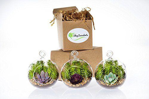 Shop Succulents Miniature Succulent Garden Trio is part of Miniature Succulent garden -