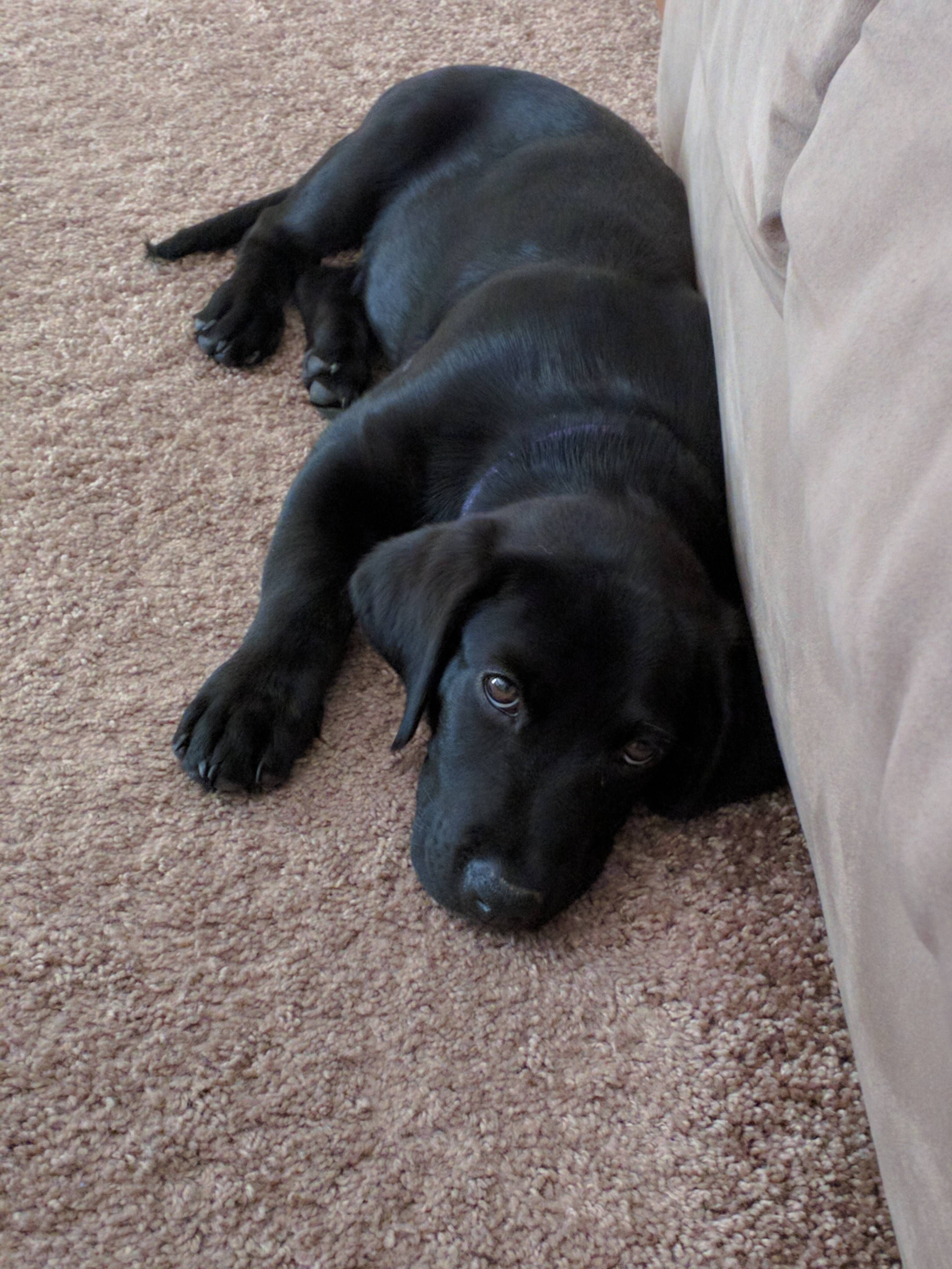 Everyone Meet Poe Our Rescued Lab Mix Puppy Labradorretrieverpuppies Everyone Meet Poe O In 2020 Labrador Mischling Welpen Labrador Retrievers Labrador Retriever Hund