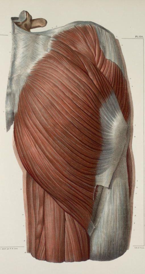 Muscles+of+the+buttocks.jpg (510×961) | Art Anatomy of Human ...