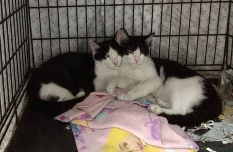 (3) Brother kittens need resQ/adoption - GCHS - Leitchfield, KY