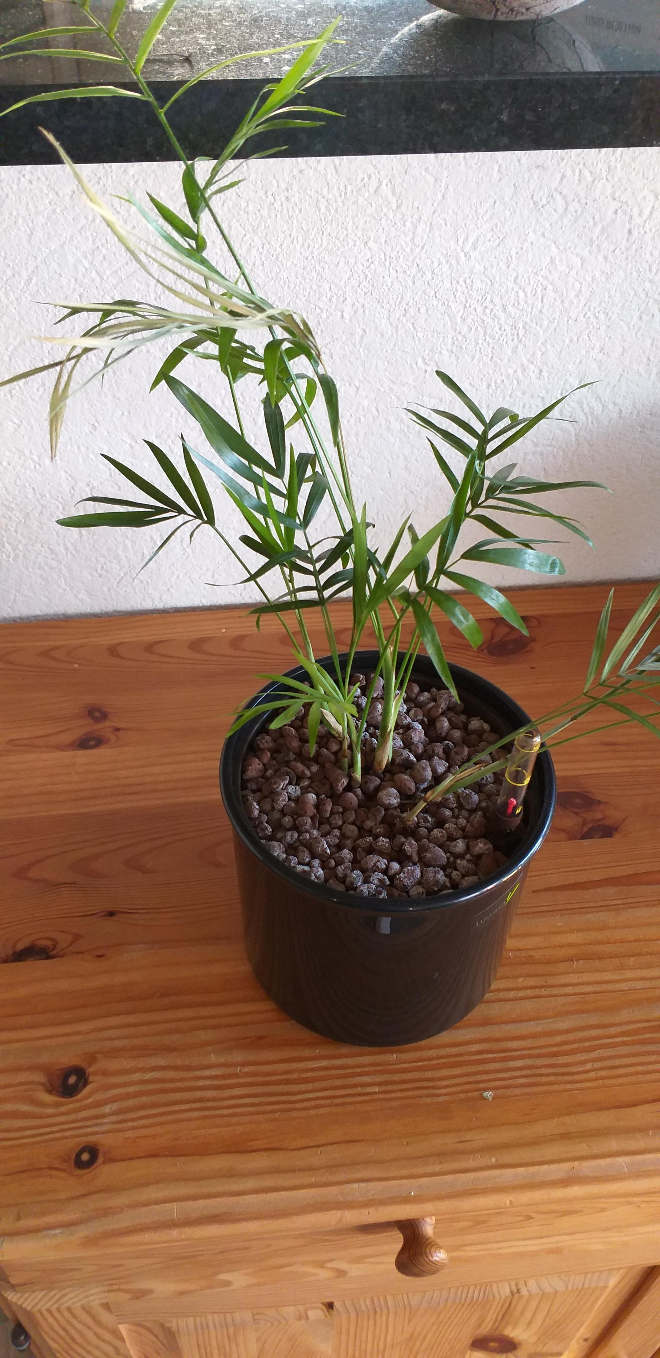 Heii reddit can you help this is my little dypsis