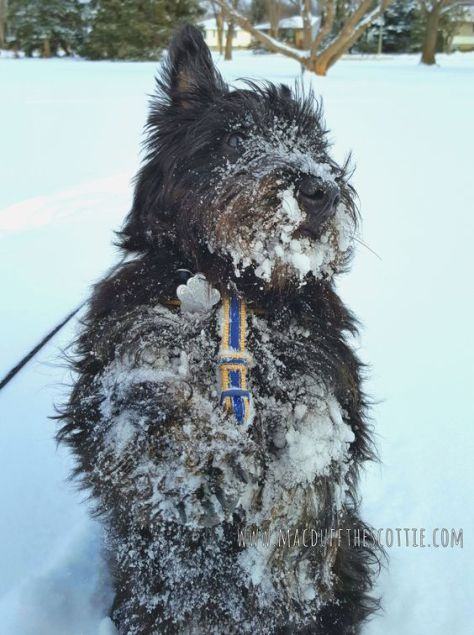 Winter In Edmonton With Macduff The Scottish Terrier Scottie