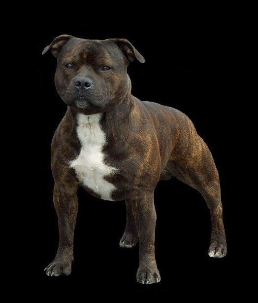 Staffordshire Bull Terrier Pitbull Terrier Staffy Bull Terrier Bull Terrier