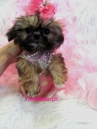 Shih Tzu For Sale Teacup Shih Tzu Shih Tzu Breeds Shihtzu For
