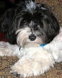 Adopt Morty On Petfinder Havanese Puppies Havanese Dogs Havanese