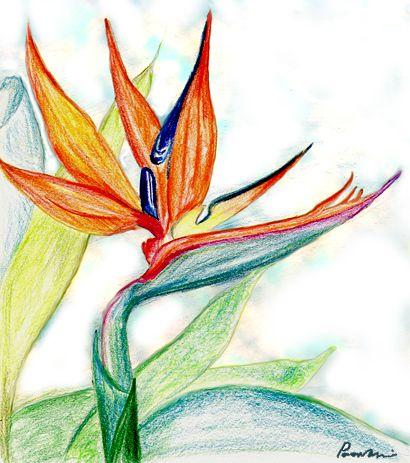 How Do I Draw A Bird Of Paradise Flower Yahoo Answers Birds Of Paradise Flower Bird Drawings Birds Of Paradise