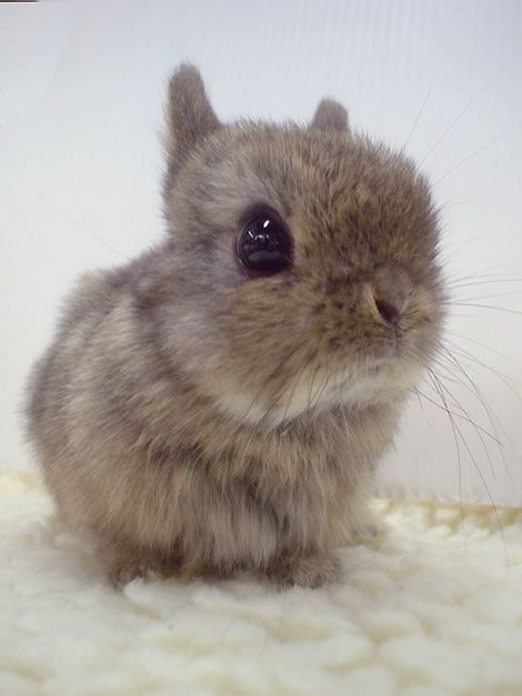 Wee Baby BunFluff | The 33 Fluffiest Animals On The Planet @BadgerMaps
