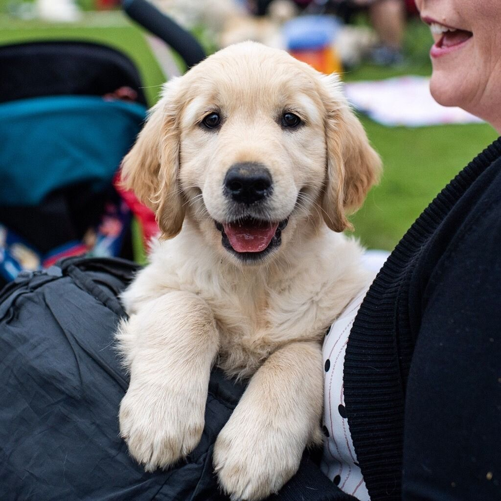 Tola Golden Retriever 9 W O Guisachan Gathering 2018 Cannich Uk This Is Her First Trip Golden Retriever Retriever Happy Boy