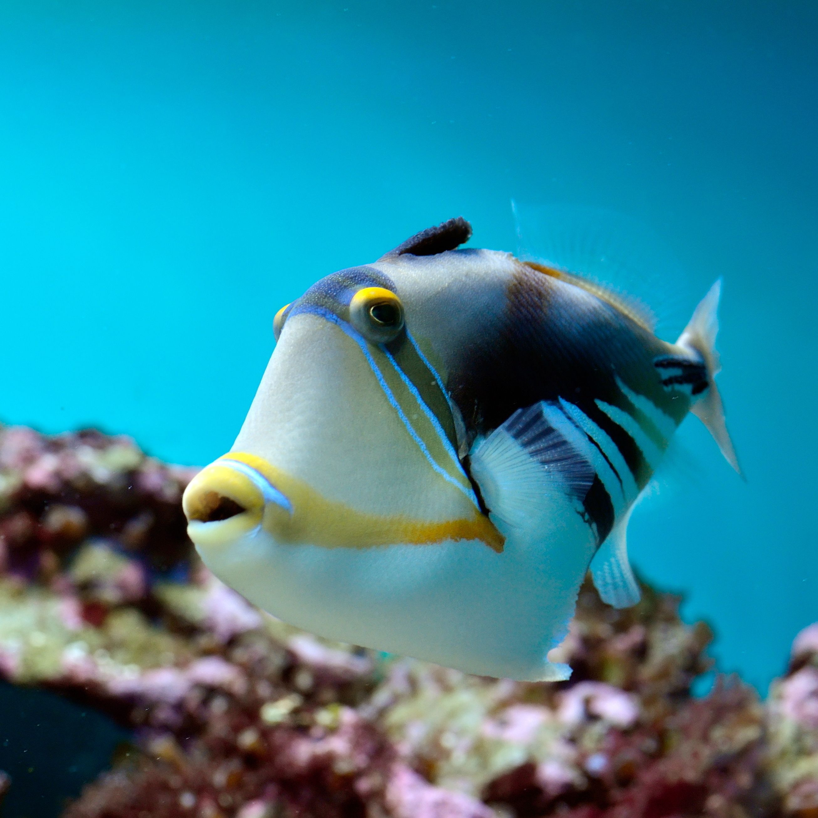 Freshwater fish of hawaii - Vibrant Colored Trigger Fish Hawaii S Fish Humuhumunukunukuapua A The Fish With The Pig
