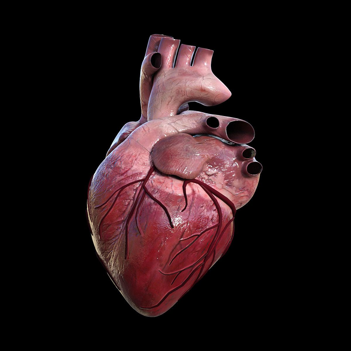 3d anatomy of heart