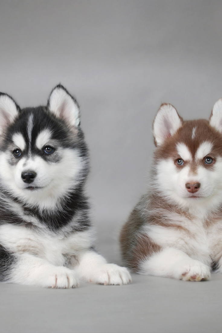 Siberian Husky Puppies Siberianhusky Siberian Husky Puppies Siberian Husky Husky