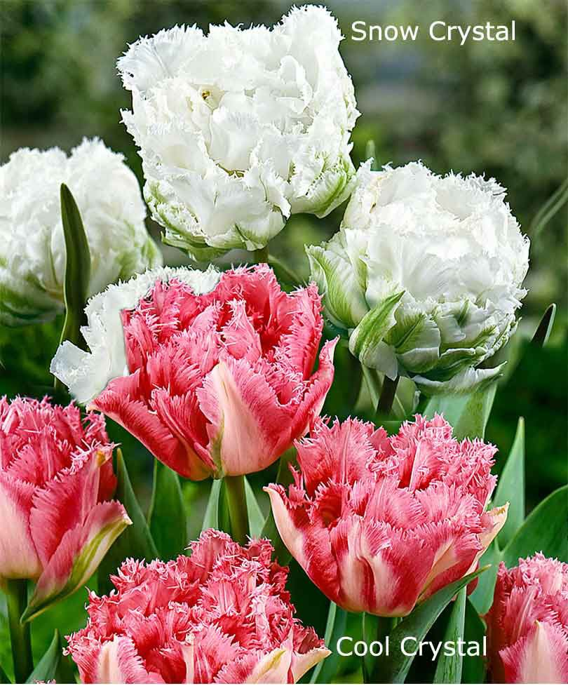 Pin By Amy Williamson On Flores Bulb Flowers Tulips Flowers Beautiful Flowers