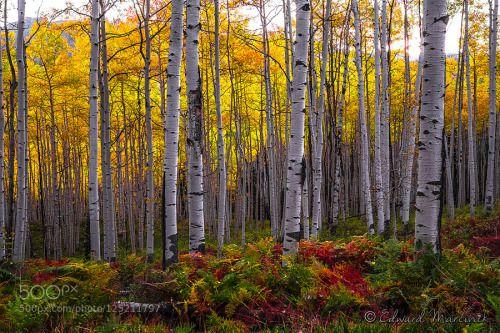 Spirit in the Trees by emarcinek  Aspen Trees Crested Butte Edward Marcinek Fuji xt1 Golden Kebler Pass Red Sunrise USA Yellow Spirit