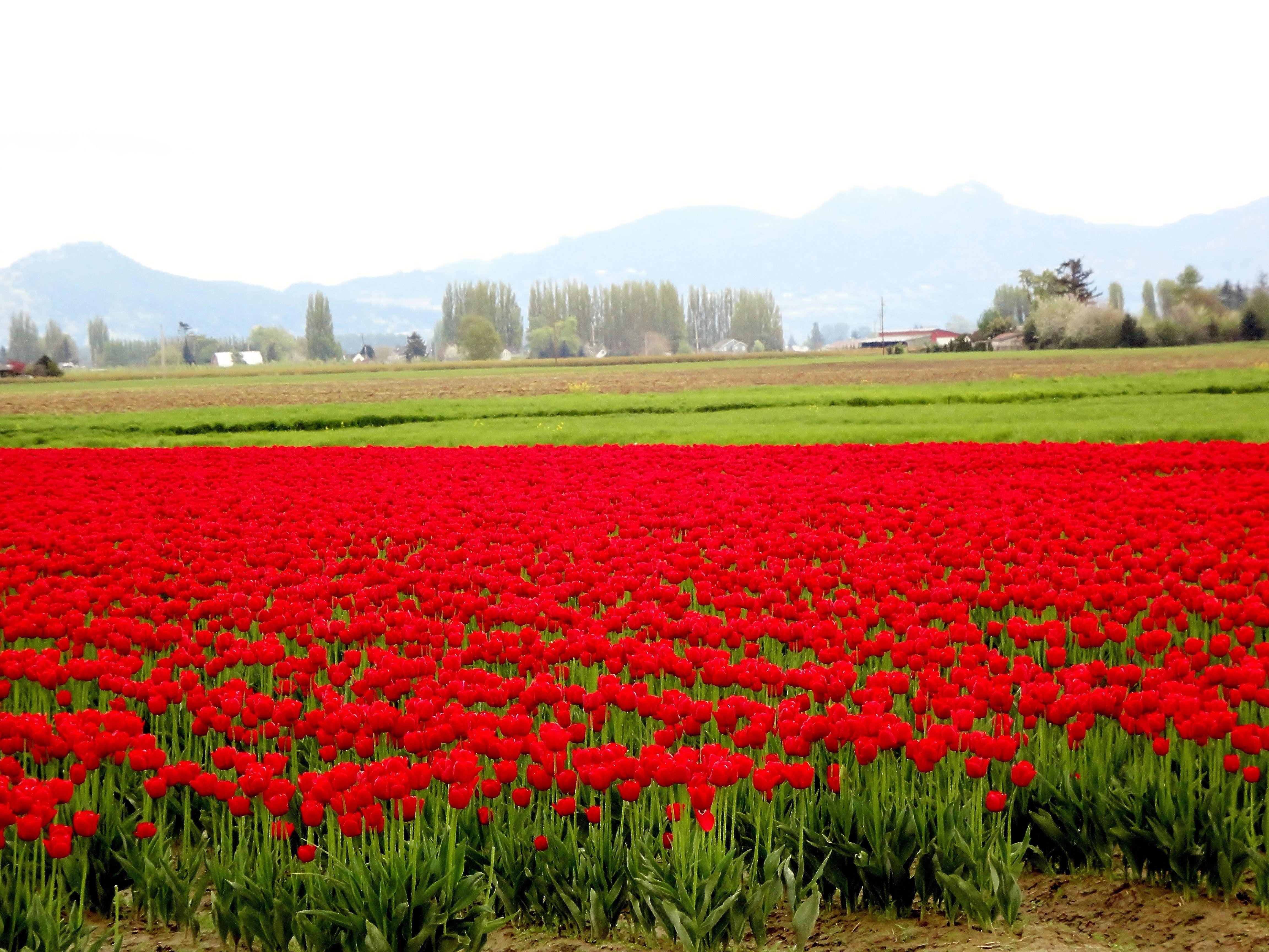 Spring Flowers Tulips Field Sunrise Grass Clouds: Flowers Sunrise Fields Nature Flowers Tulip Flower Field