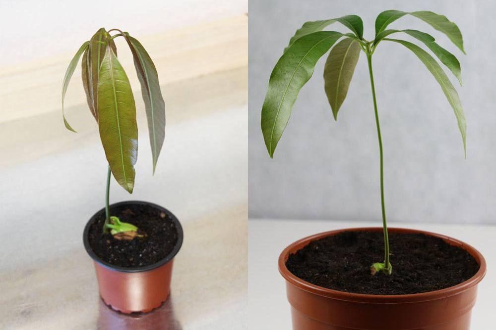 Mangokern einpflanzen: Anleitung zur Anzucht einer Mango-Pflanze