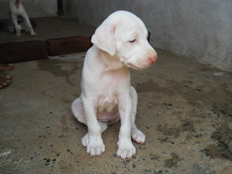 Rajapalayam Dog For Sale In Olx