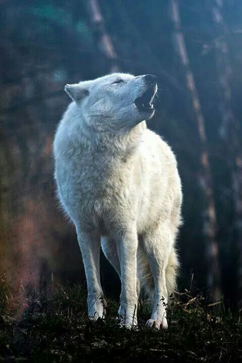 #Lobo! #Animals!