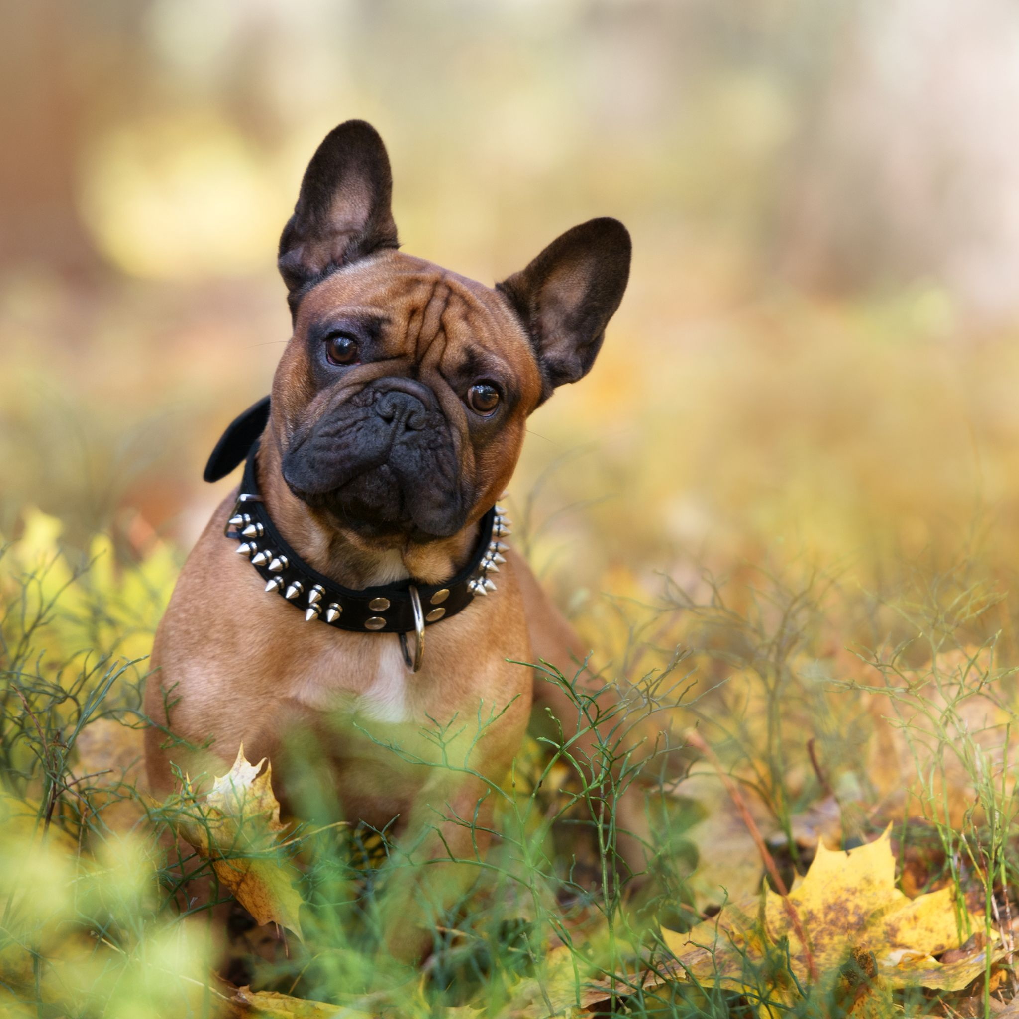 Common French Bulldog Behavior Problems Stop Them Today French