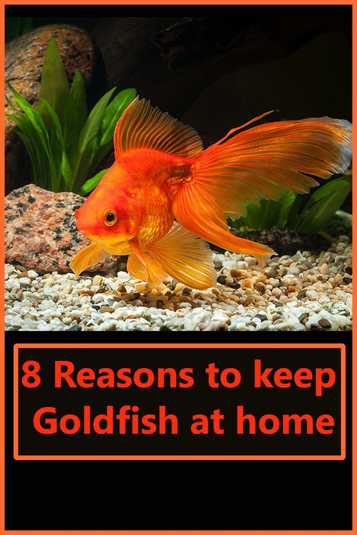 Goldfish are one of the most common, popular, inexpensive