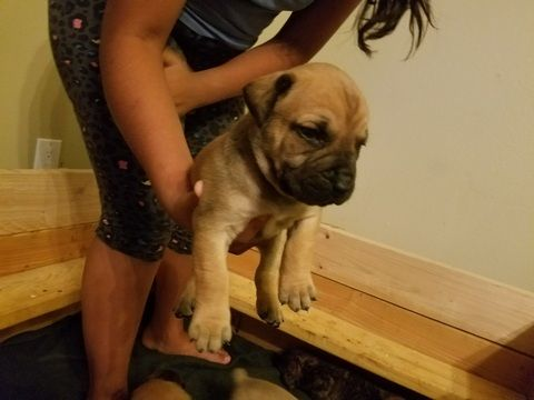 Litter of 9 Boerboel puppies for sale in ALBUQUERQUE, NM