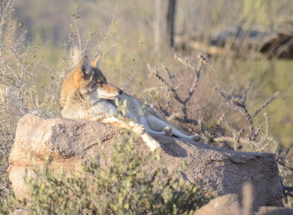 Coyote In Arizona Knows How To Chill Sonora Desert Wildlife Habitats