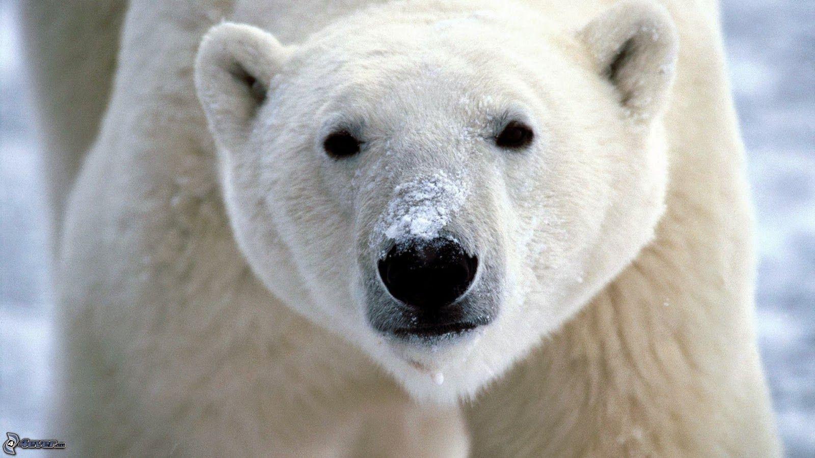 PETALI DI CILIEGIO ...per coltivare la speranza: In difesa degli animali: gli orsi polari