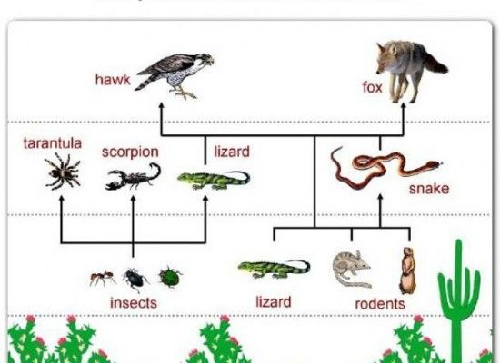Desert Food Chain Pictures Food Chain Food Web Desert Ecosystem