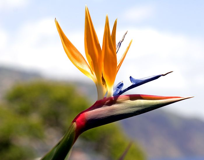 Bird Of Paradise One Of Florida S Favorites Birds Of Paradise Plant Birds Of Paradise Flower Birds Of Paradise