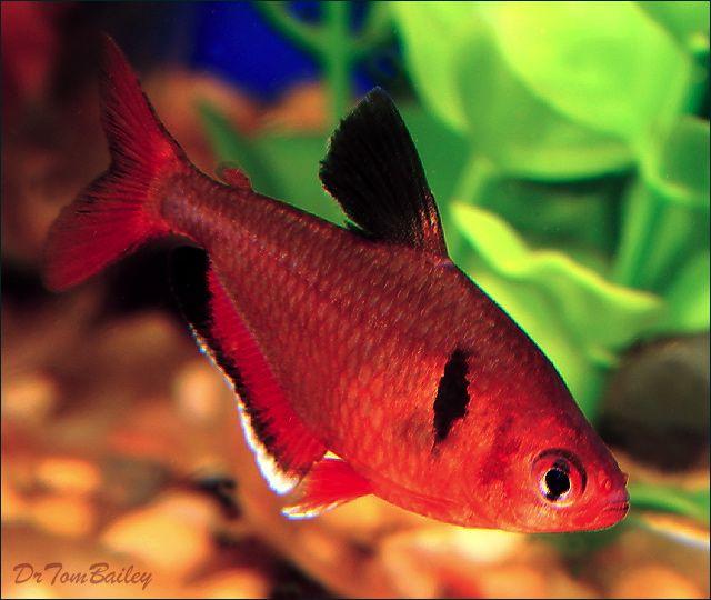 Hyphessobrycon Eques Serpae Tetra Colorful Fish Aquarium Fish Animals