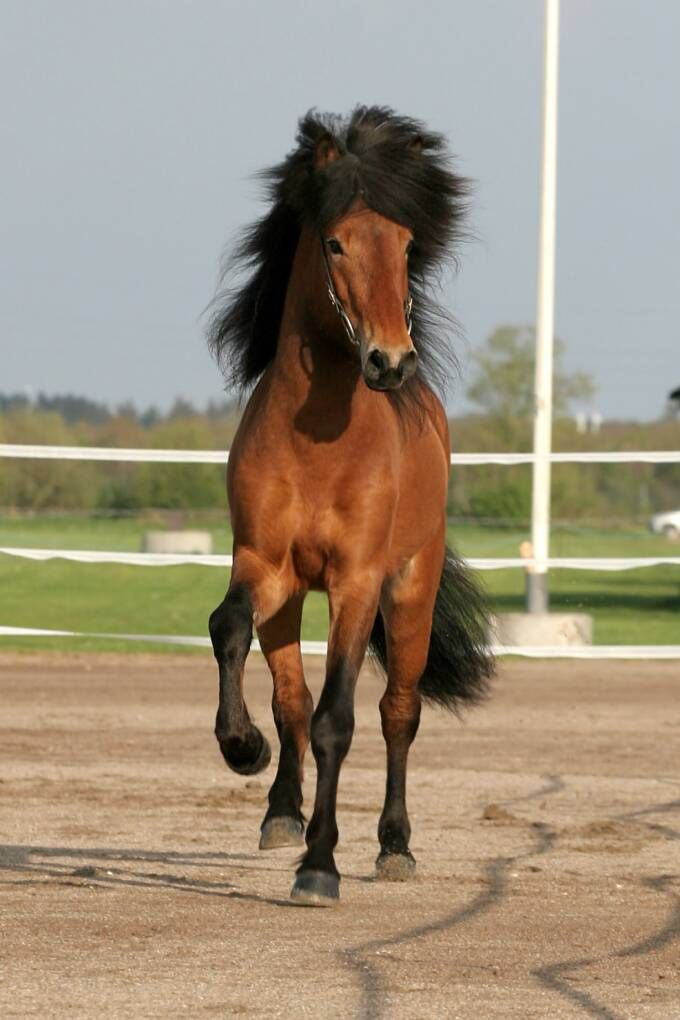 Featured Stallion Hektor Icelandic Pony Owned By Engholm
