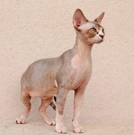 Sphynx Cats Kittens Nada Sphynx Devon Rex Lykoi Donskoy Sphinx Esfinge Sphynx Cats For Sale Sphynx Kittens For Sale Hairless Cats For Sale Cat Breeder