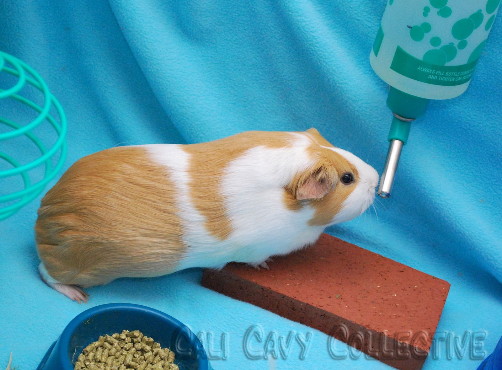 54 best guinea pig ideas images on pinterest guinea pigs pig put a brick underneath the water bottle to absorb drips and keep bedding dry and jeuxipadfo Gallery