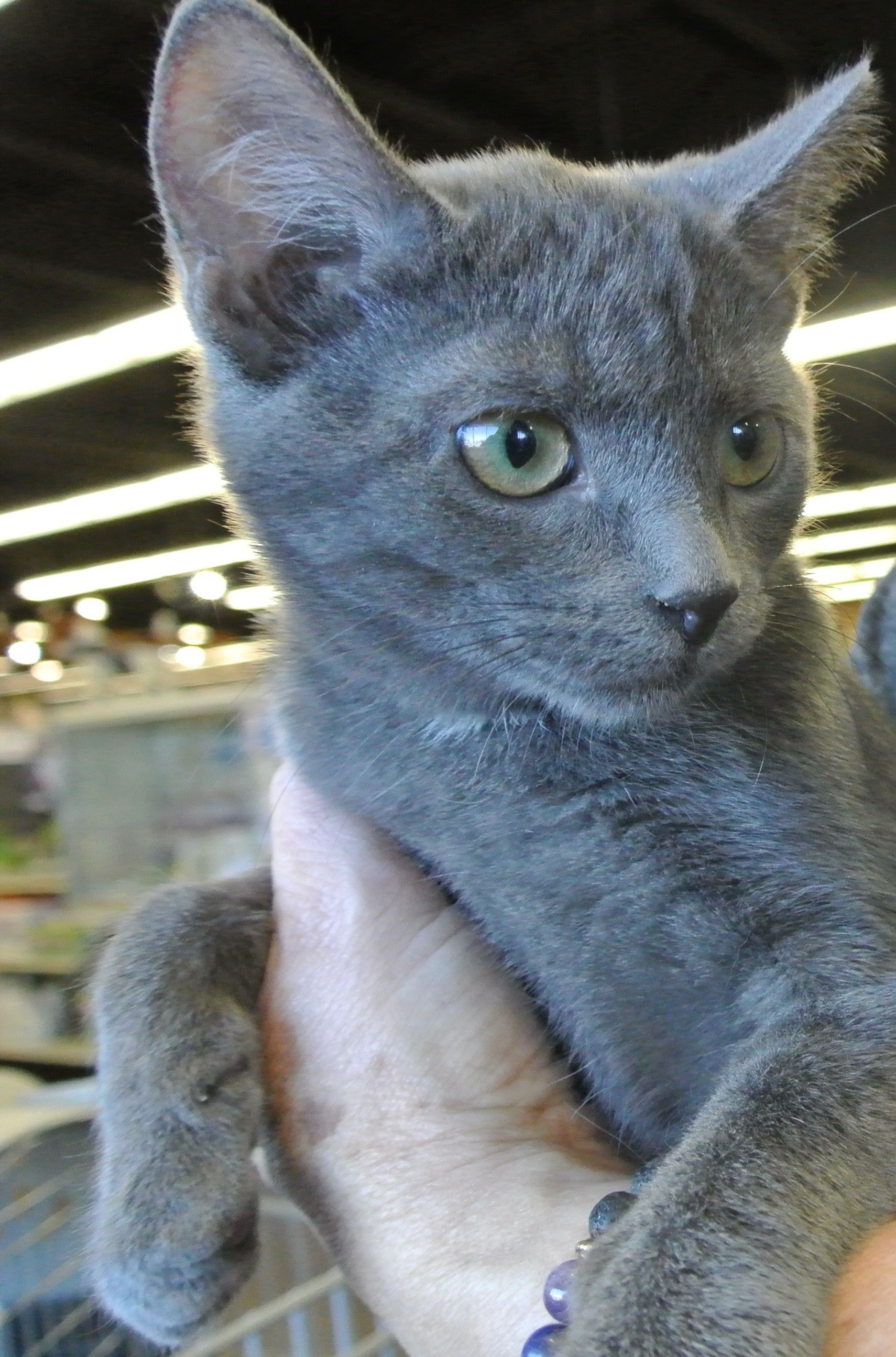 Adopt Peach On Petfinder Russian Blue Pets Animals