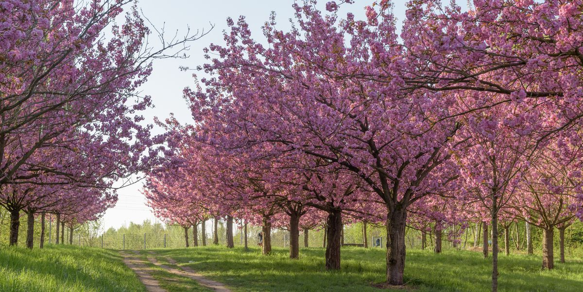 Cherry Blossom Tree Facts That You Definitely Never Knew Before Cherry Blossom Tree Blossom Trees Tree