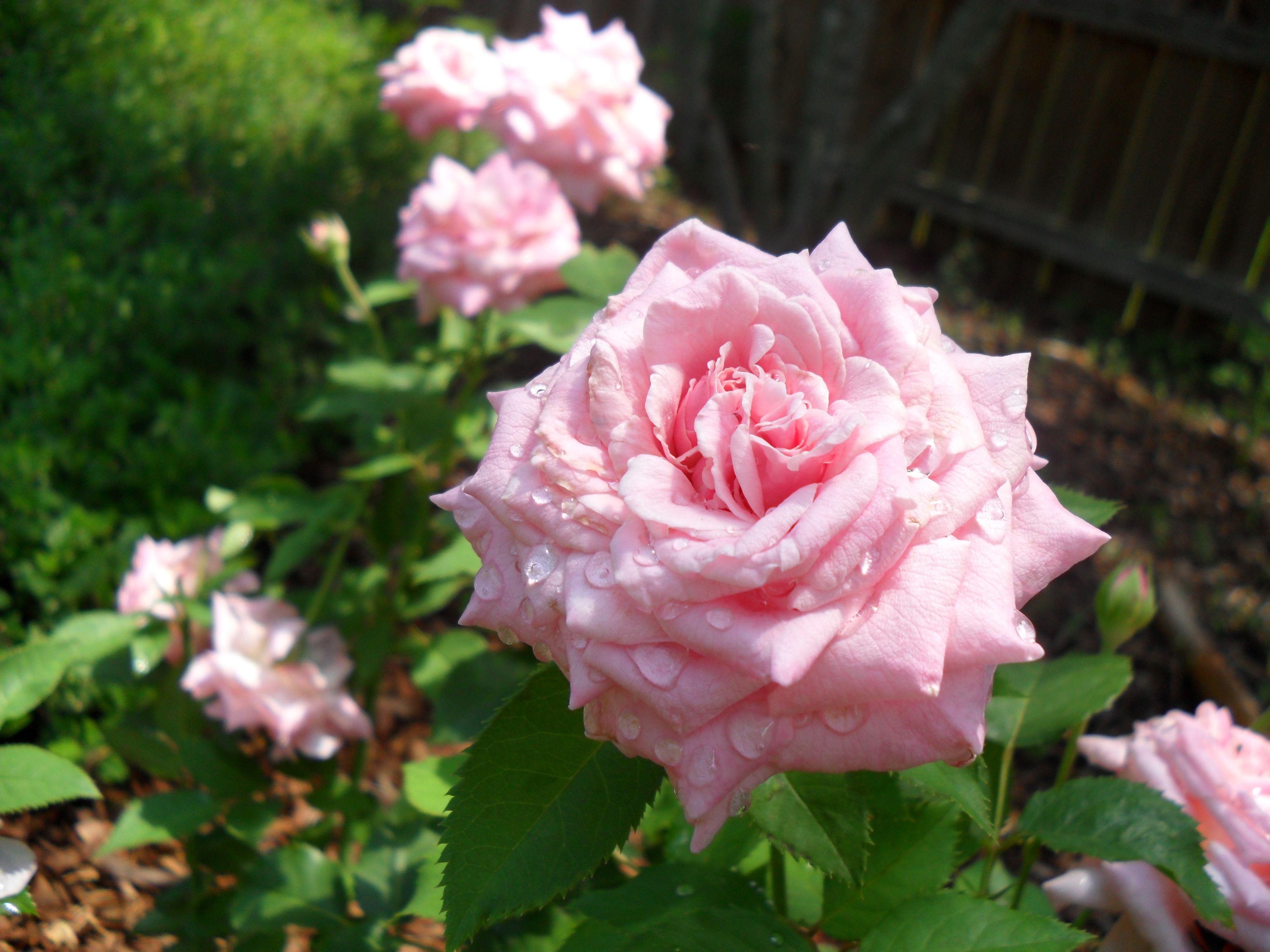 Belinda\'s Dream Rose= My Favorite :)   Some day....   Pinterest ...