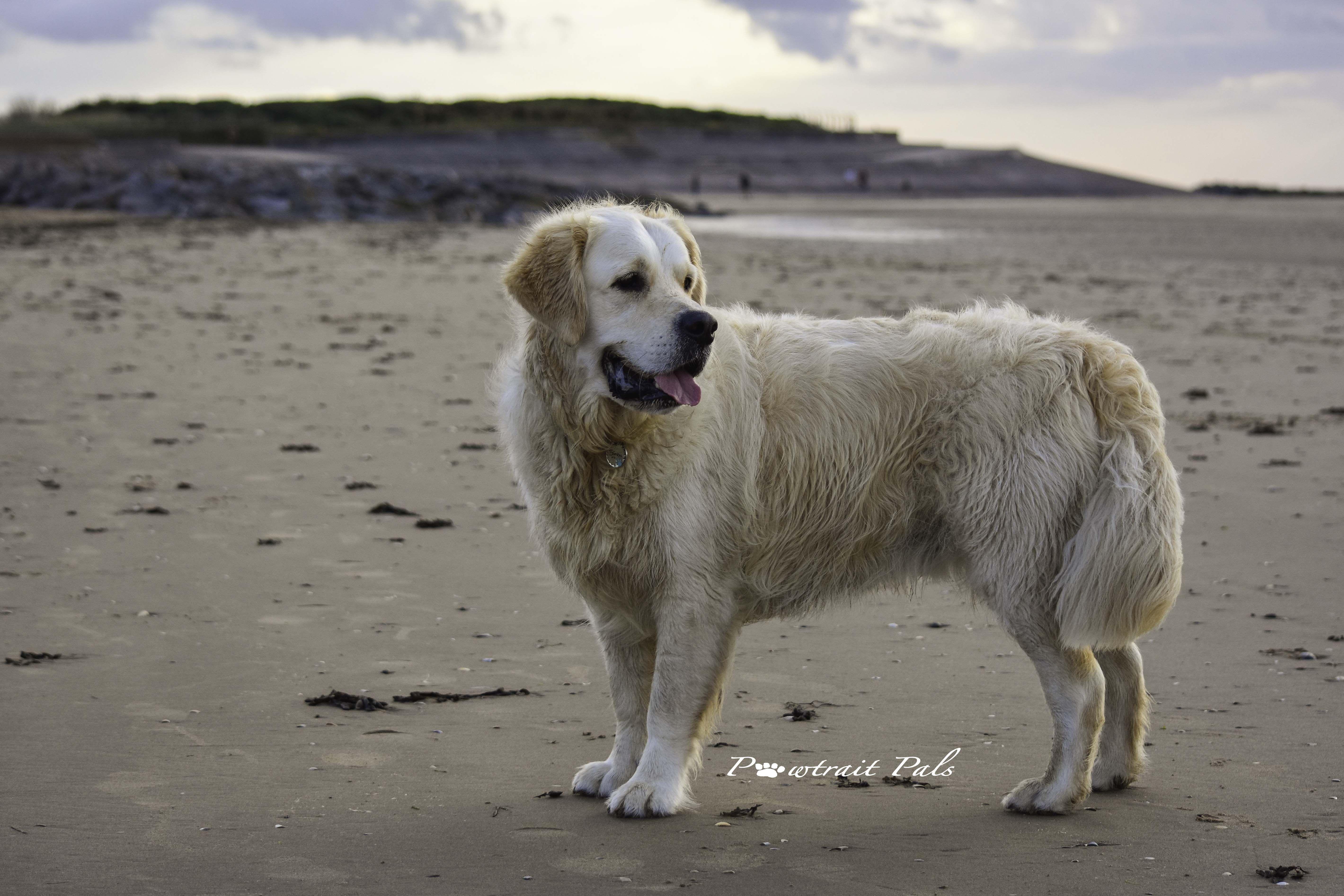 Golden Retriever Simba On The Beach Dog Photograph Outdoor Dog Dogs