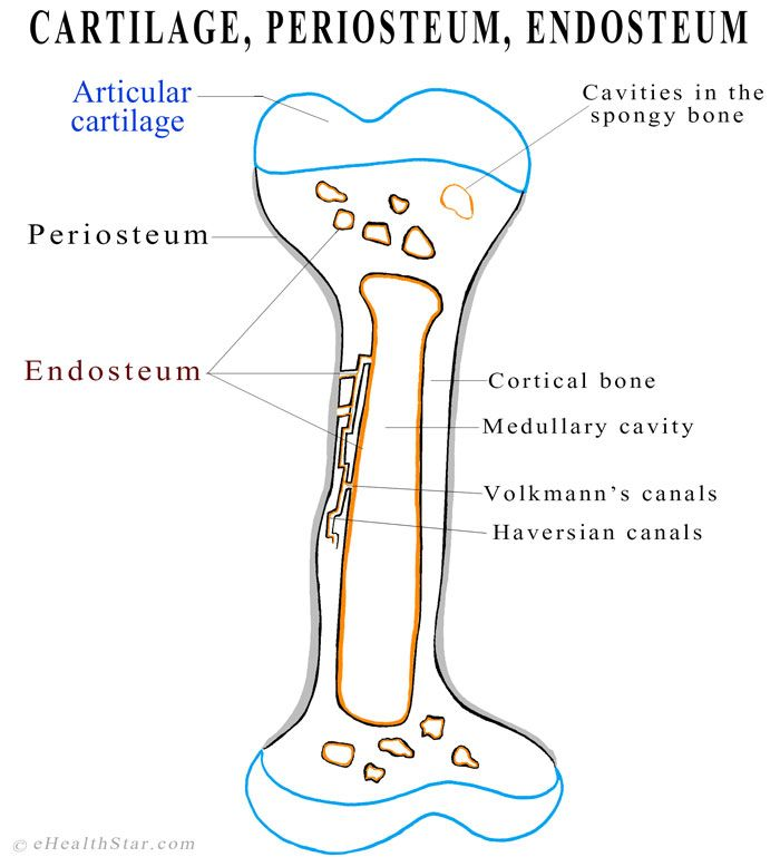 Endosteum Location Structure And Function Anatomy Pinterest