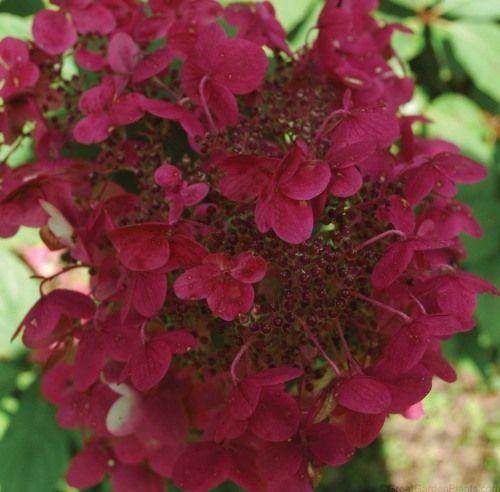 Hydrangea Fire And Ice Oakleaf Hydrangea Flowering Shrub For Shade Huge Blooms Hydrangea Paniculata Hydrangea Varieties Red Hydrangea