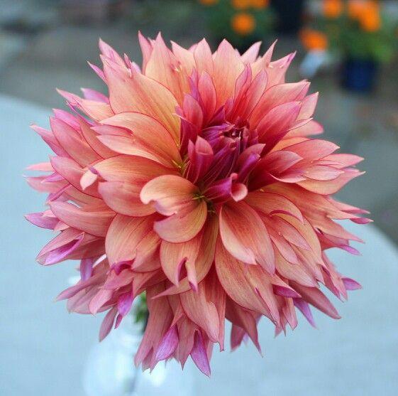 Sonic Bloom Sonic Bloom Dahlia Flower Flower Farm