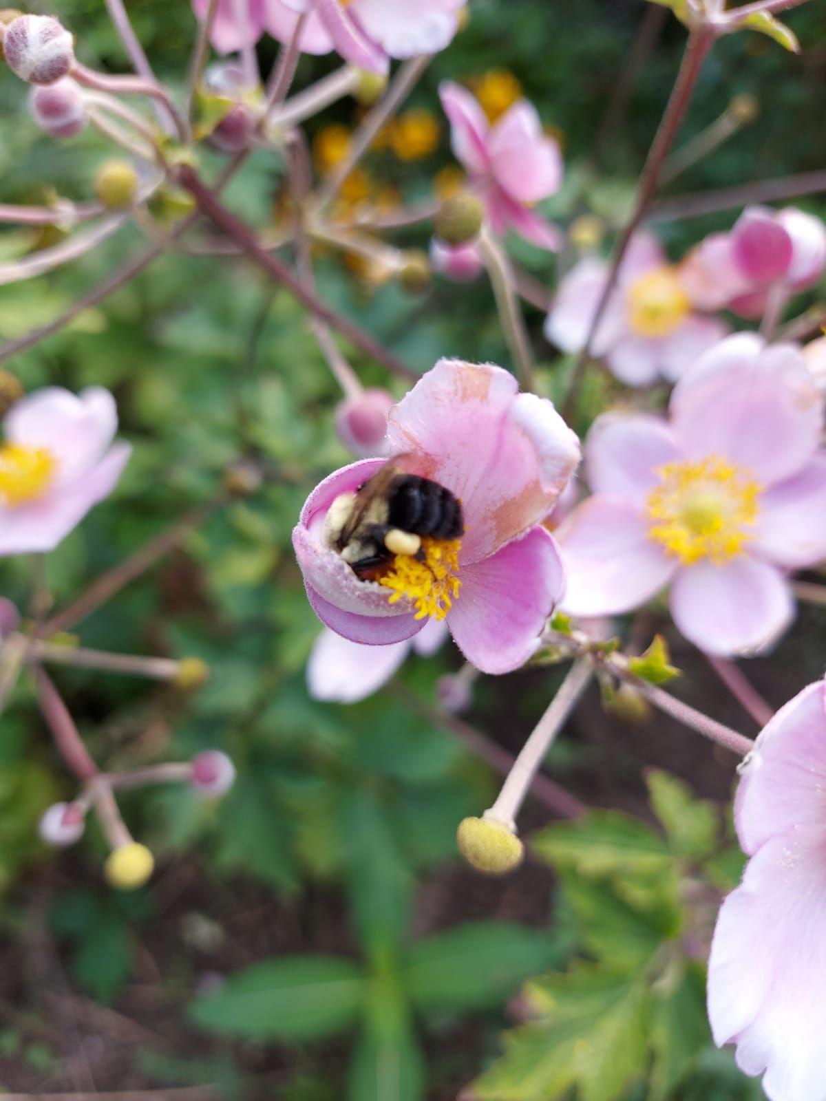 Bee In An Anemone Flower In 2020