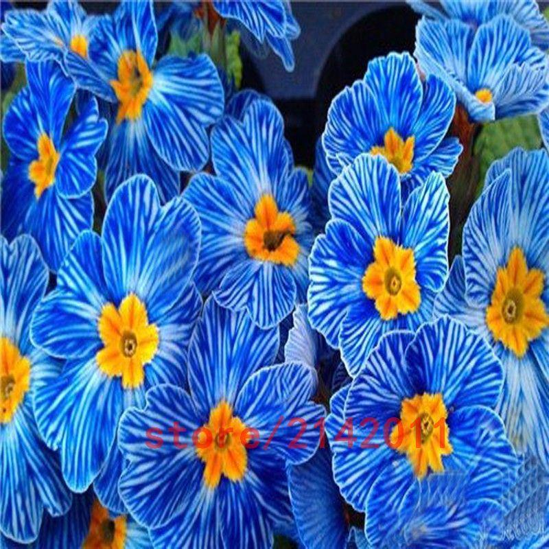 Petunia Seeds Blue Petunia Seeds Europe Unique Dark Blue Flowers