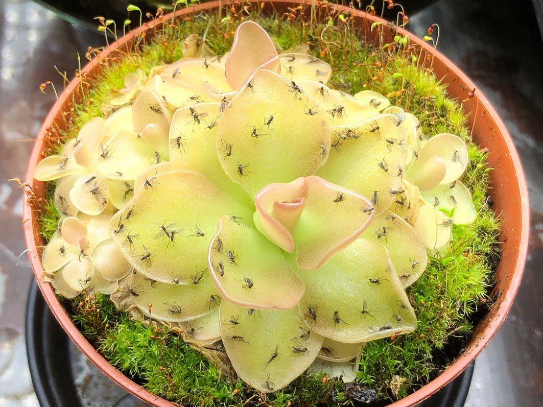 Mini Moucheron Dans La Maison cimetière végétal à moucherons   moucheron, plante carnivore