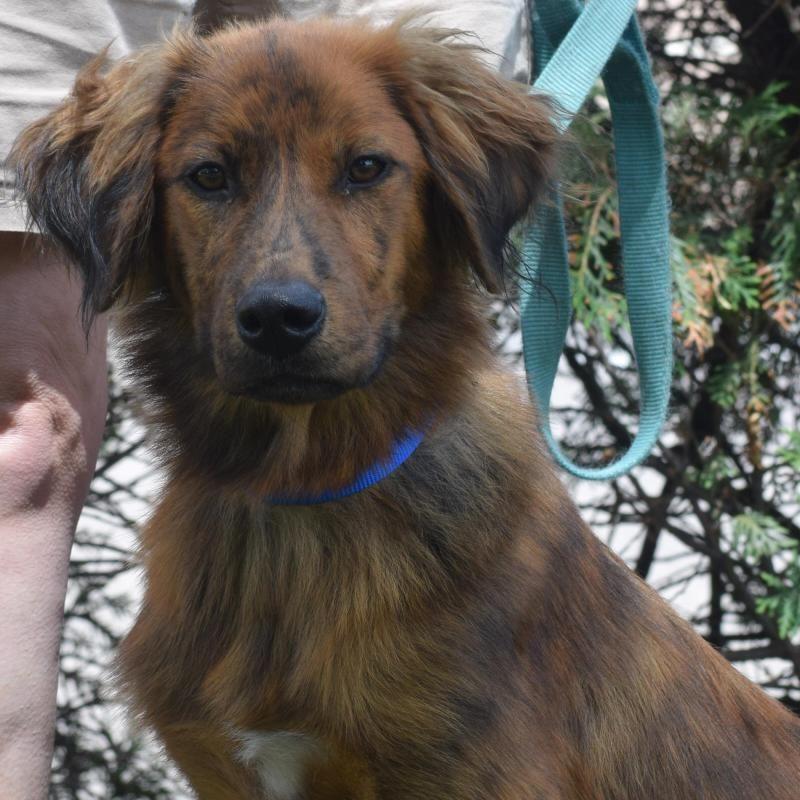 Adopt chili on petfinder golden retriever shepherd dog