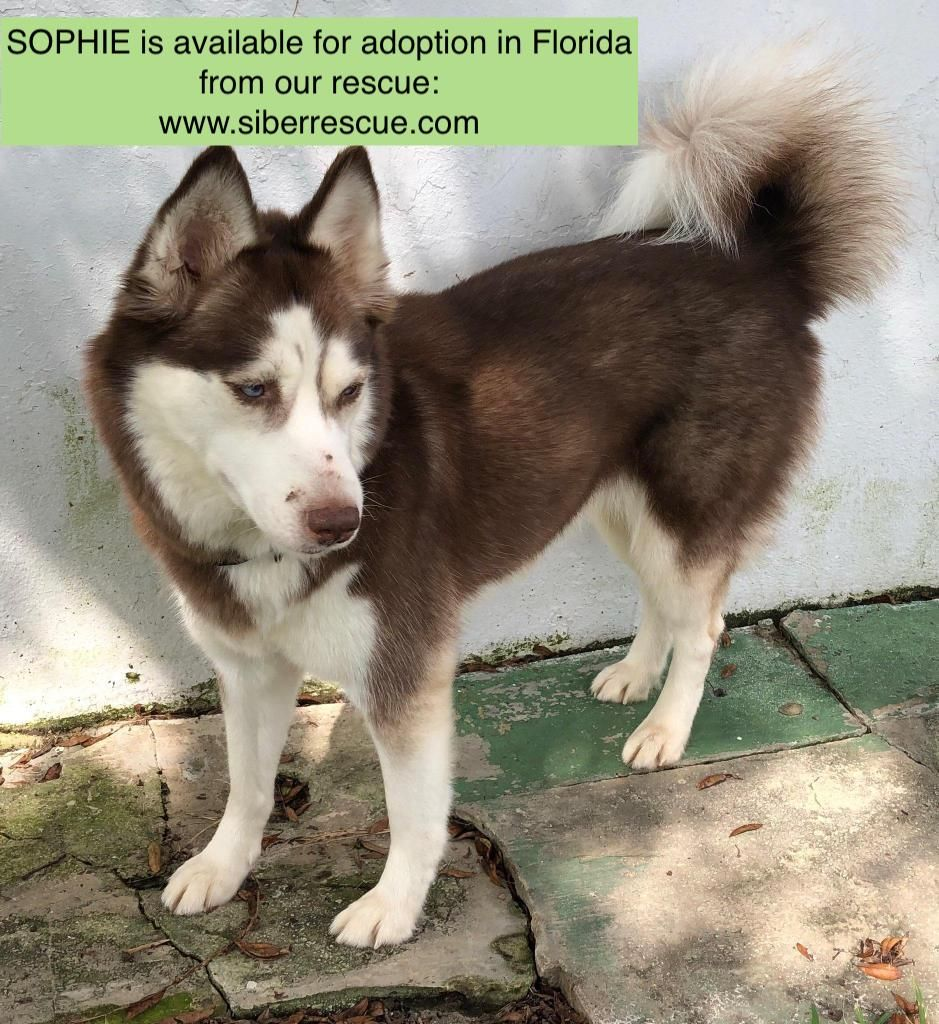 Siberian Husky Sophie For Adoption In Florida Only Apply To