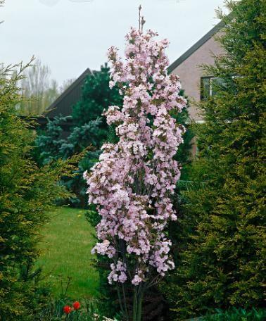 Tall Slender Trees For Small Gardens