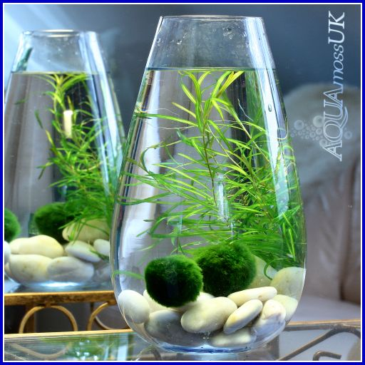 Planted vase aquascapes pinterest plants marimo and for Betta fish moss ball